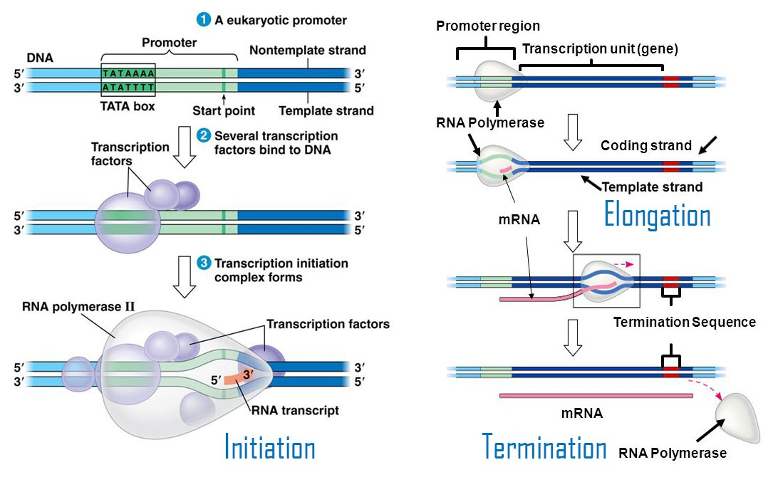 Transcription Steps Initiation, Elongation, Termination