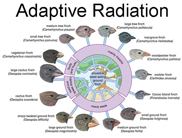 Ecological Causes of Adaptive Radiation
