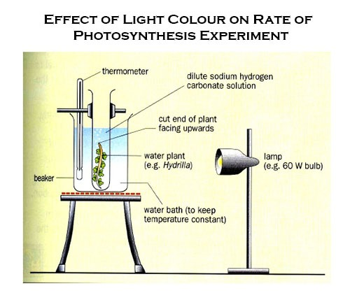 Effect of Light Color on Rate of Photosynthesis Experiment
