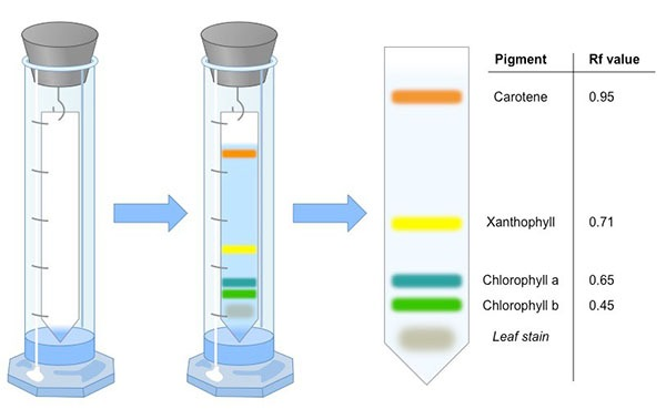 Separation of Photosynthetic Pigments by Paper Chromatography Experiment