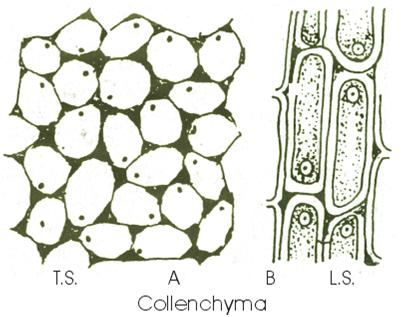 collenchyma Tissue structure and funtion