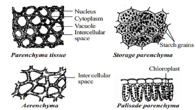 parenchyma tissue Structure