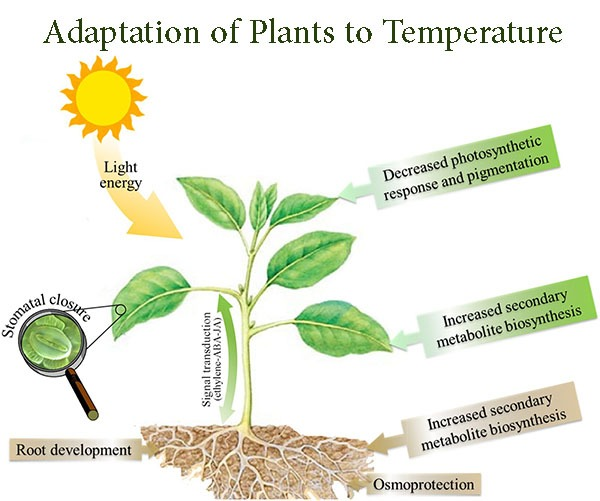 Adaptation of Plants to Temperature
