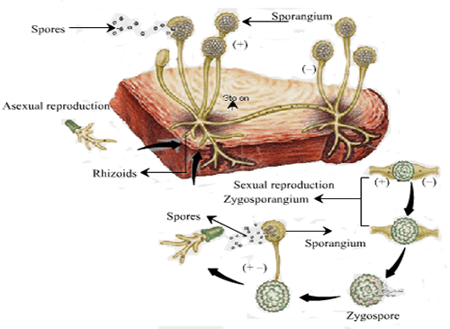 Life Cycle of Rhizopus Entry Test MCQs