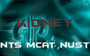 Kidney Anatomy MCQs