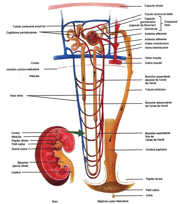 Kidney Anatomy MCQs : Structure of Nephron - Botany Studies