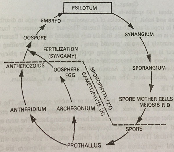 Psilotum life cycle