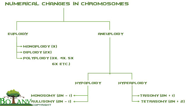 Numerical Changes in Chromosomes