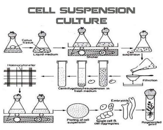 Cell Suspension Culture