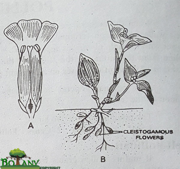 (A) Homogamous (B) Cleistogamous (Closed Flower)
