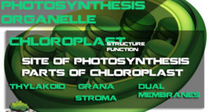 Photosynthesis Organelle