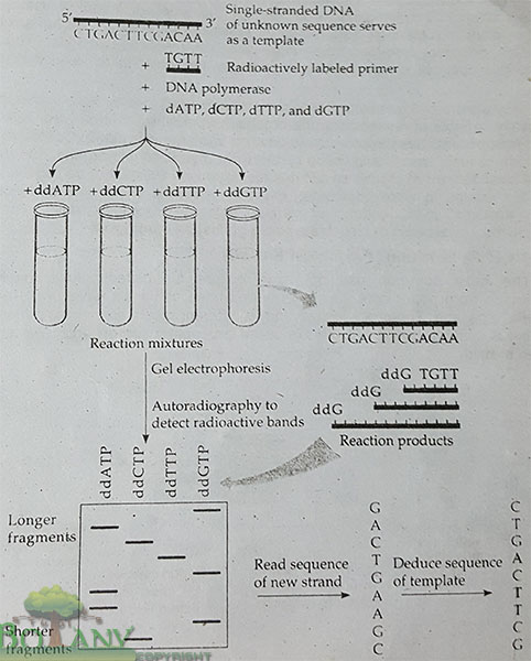 Sanger Method Of DNA Sequencing
