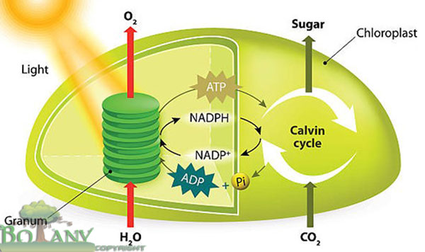 Site of Photosynthesis - Dark Reaction and Light Reaction